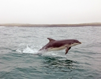 GO AHEAD JUMP: A dolphin pictured here in Sligo Bay, jumping at the weekend. PICTURE BY RITA JAKHU