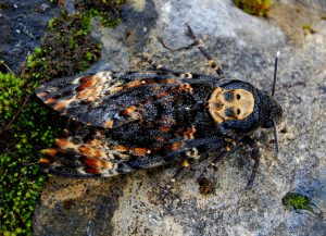 RARE: A picture of the Death-head Hawkmoth that was discovered in Bunninadden.