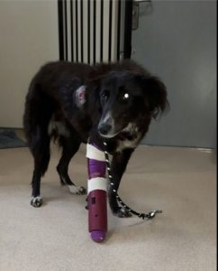 INJURY: Elsie, a collie, was hit by a car and suffered a broken leg. She is now on the mend and will be looking for a new home when she is better.