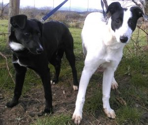 SISTERS: Victoria and Charlotte, Lurcher/Collie mixes who are currently under the care of Sligo Animal Rescue and are looking for a new home.